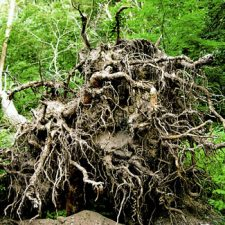uprooted_tree_002